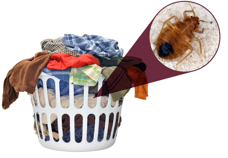Bed Bugs And Dirty Clothes Pct Pest Control Technology