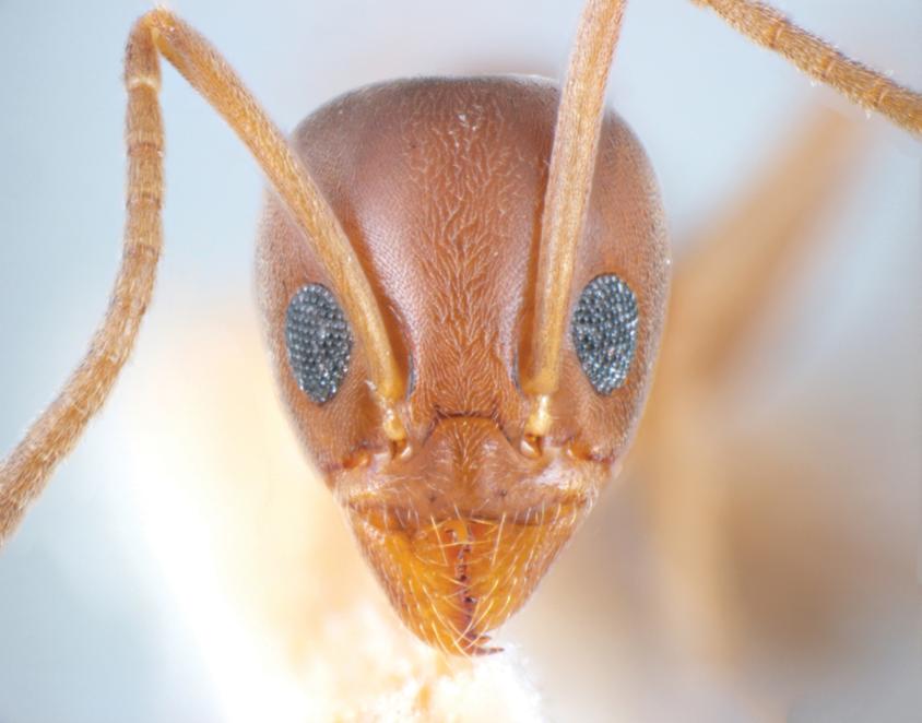 Argentine Ant Case Studies Pct Pest Control Technology