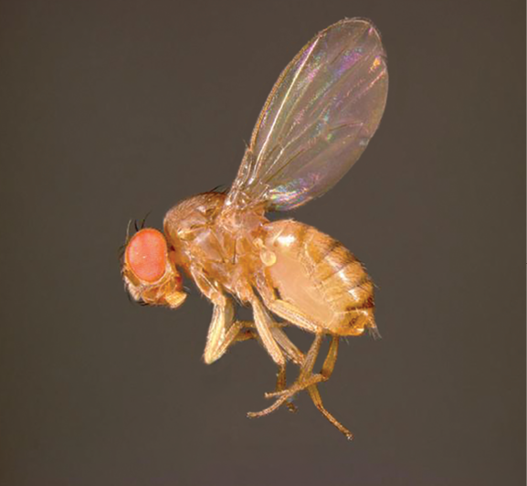 5 Tips for Fighting Fruit Flies - PCT - Pest Control Technology