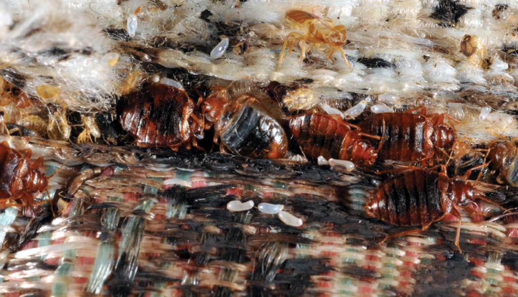Study Identifies Essential Oil Compounds Most Toxic To Bed Bugs Pct Pest Control Technology