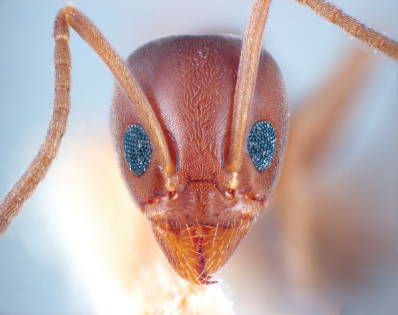 A Closer Look Argentine Ant Control Pct Pest Control Technology