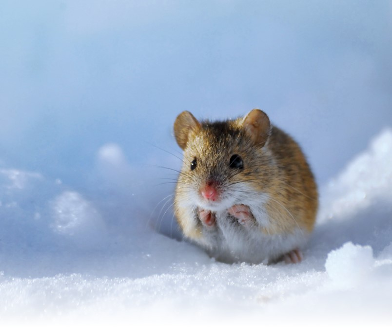 The Outside Lives Of House Deer Mice Pct Pest Control Technology