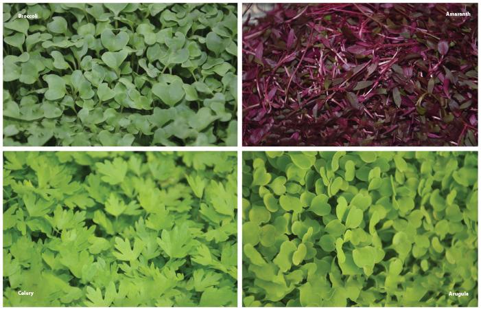 Managing Diseases In Microgreens