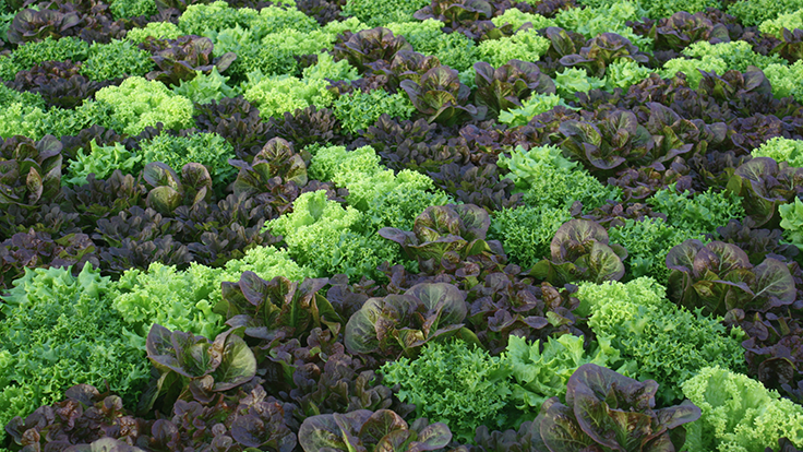 Lettuce and leafy greens 101: a production guide - Produce