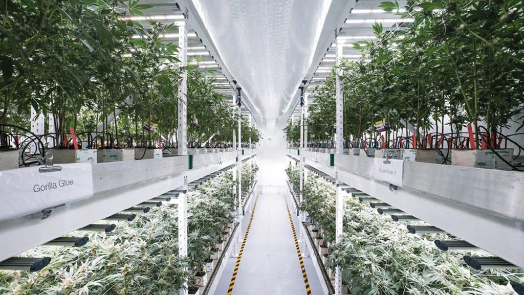 Vertical Farming Cannabis Business Times