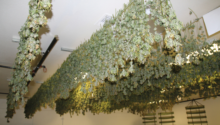Cannabis Drying Rack Delectable Master The Art Of Drying And Curing Cannabis Cannabis Business Times