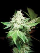 Gorilla Glue vs  Gorilla Glue - Cannabis Business Times