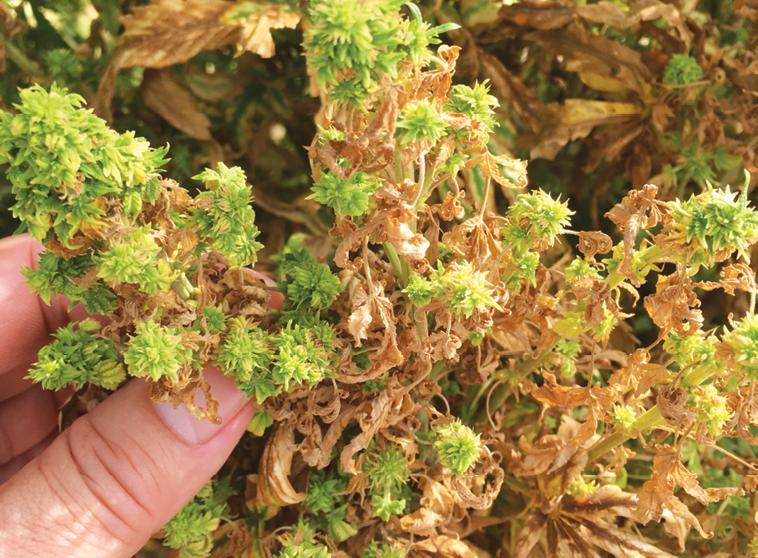 Common Marijuana & Hemp Diseases - Cannabis Business Times
